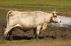 Profile of white big cow Stock Photo