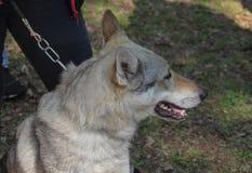 Profile of white German shepherd. stock photos