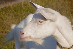 Profile of a white homemade goat. stock photography