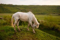 The profile of a white horse that bent his head, eating grass in the field. Animal in wild. royalty free stock photos