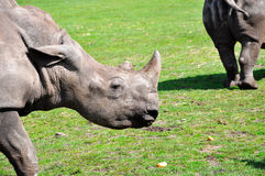 A profile of a white rhinoceros Stock Photography