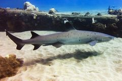Profile of White Tip Reef Shark in Clear Ocean. White tip reef shark swims by closely in profile underwater just over the sand in Maui, Hawaii royalty free stock image
