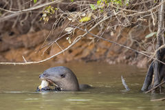 Profile of Wild Giant Otter Chewing Fish in River. Profile of a wild giant otter munching on a fish in the muddy river under some branches Royalty Free Stock Photos