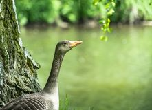 Profile of a wild goose in front of a small river with a lot of space on the right side. Germany stock photos