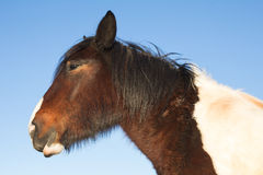 Profile of wild horse Stock Images