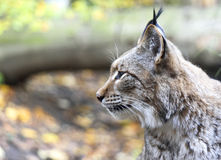 Profile of a wild lynx Stock Image