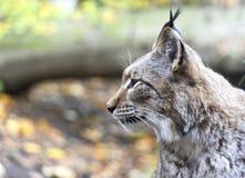 Profile of a wild lynx Stock Image