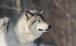 Profile of wolf Royalty Free Stock Photo