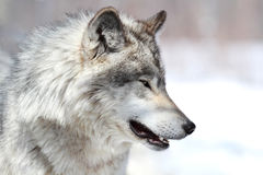 Profile of wolf Stock Images