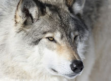 Profile of wolf Royalty Free Stock Image