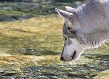 Profile of Wolf About To Drink From Stream Royalty Free Stock Photo