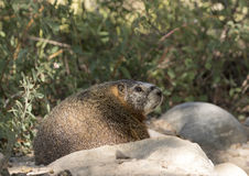 Profile of yellow-bellied marmot on rocks with scrubs in the bac Royalty Free Stock Images
