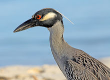 Profile of Yellow-crowned Night heron Royalty Free Stock Photography