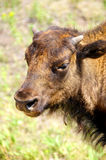 Profile of a Young Buffalo Royalty Free Stock Photo