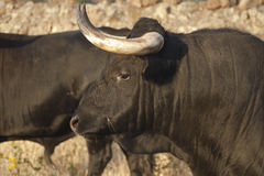 Profile of young fighting bull. Breeding Stock Image