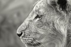 Profile of a young lion. Young lion male in black and white. Profile of the face of a lion Stock Photo