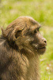 Profile young male Tibetan Macaque Stock Images