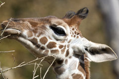 Profile of a young Reticulated Giraffe head Royalty Free Stock Images