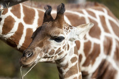 Profile of a young Reticulated Giraffe head Stock Image
