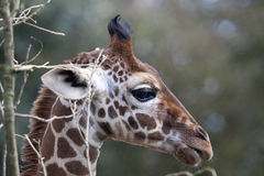 Profile of a young Reticulated Giraffe head Royalty Free Stock Photos