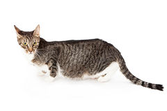 Profile of a young tabby cat Royalty Free Stock Image