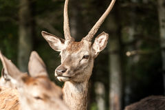 Profile of an young white-tailed deer Stock Images