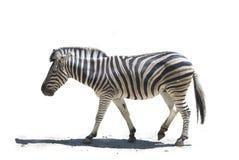 Profile zebra. Zebra (Equus quagga). Isolated of profile zebra walking in the white background Stock Photography