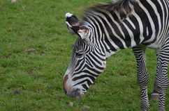 Profile of a Zebra with Great Black and White Stripes Stock Photography