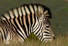 Profile of zebra head Royalty Free Stock Photo