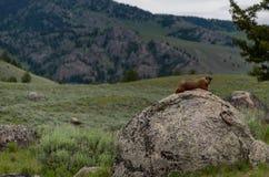 Profilen av den bruna murmeldjuret vaggar på i berg arkivbild