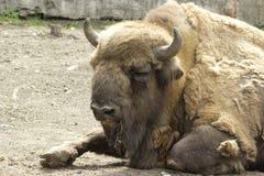 Profilen för amerikanBison Buffalo sida arkivfoton