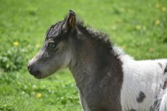 Profilera en härlig vit och svärta miniatyrhästen Arkivbild
