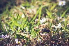 Profilera sikten, makrofoto av en gemensam husfluga som har landat på en liten vildblomma Royaltyfri Fotografi