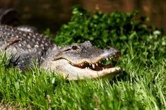 Profilera ståenden av en amerikansk alligator på Washington DC mig Arkivbild