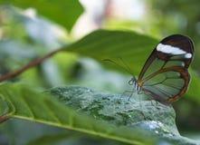 Profilez la vue d'un papillon avec les ailes transparentes photos stock