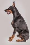 Profilez la vue du grand chien noir avec l'oreille et la queue cultivées Photographie stock