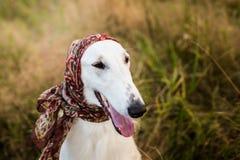Profilez le portrait du chien russe magnifique de barzoï dans l'écharpe un russe de La sur sa tête dans le domaine photographie stock libre de droits