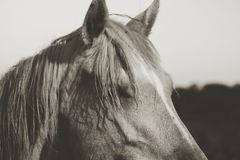 Profilhäststående i sepia för tappninglantgårdkänsel royaltyfri fotografi