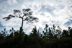 Profili il grande supporto del pino da solo sui precedenti del cielo blu e della nuvola Fotografie Stock Libere da Diritti