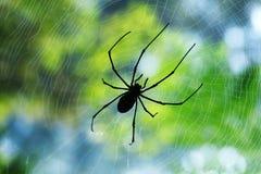Profili il ragno sottile nero che si siede e che aspetta sulla sua preda in mezzo al suo web Immagine Stock Libera da Diritti