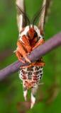 Profilieren Sie Ansicht der orange, weißen und braunen riesigen silk Motte auf Grün lizenzfreies stockfoto