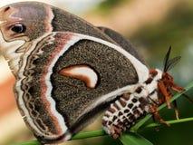 Profilieren Sie Ansicht der orange, weißen und braunen riesigen silk Motte auf Grün stockfoto