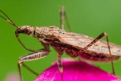 Profilieren Sie Ansicht der spined Meuchelmörderwanze mit roten Augen auf rosa Blume Lizenzfreie Stockfotografie