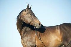 Profilkopfporträt im Freien eines vollblütigen dunkelbraunen Pferds Stockfotografie