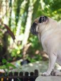Profilo adorabile sveglio grasso bianco del cane del carlino in giardino verde Fotografie Stock