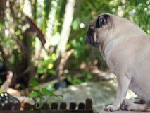 Profilo adorabile sveglio grasso bianco del cane del carlino in giardino verde Immagine Stock Libera da Diritti