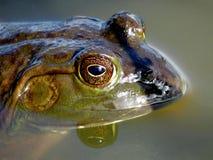 Profilo americano della rana toro Immagine Stock