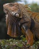 Profilo arancio dell'iguana fotografia stock libera da diritti