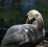Profilo bianco del cigno Fotografie Stock