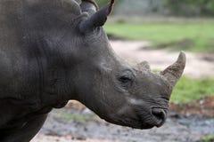Profilo bianco di rinoceronte Fotografia Stock Libera da Diritti